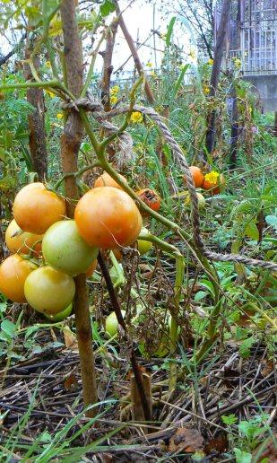 1ère saison de tomate au jardin d'Adam